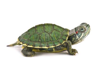 Bruņurupuči var elpot caur... Autors: Agresīvais hakeris Pārsteidzoši un pat nedaudz smieklīgi fakti!