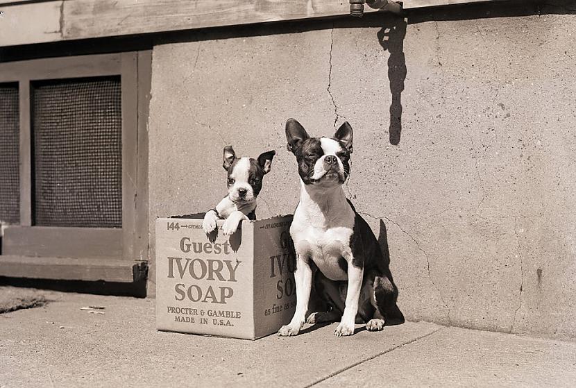 Bostonas terjeri 20 gadsimta... Autors: ezkins Cilvēka un suņa draudzības svētki