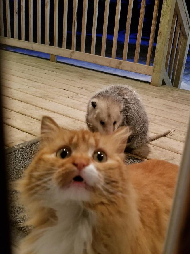 Autors: matilde Rēcīgi: Izmisušā kaķa reakcija, kad oposums zog viņa ēdienu