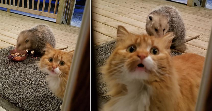 Un tici vai nē bet scaronis... Autors: matilde Rēcīgi: Izmisušā kaķa reakcija, kad oposums zog viņa ēdienu