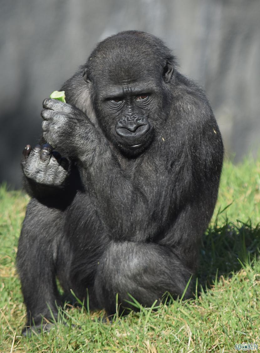 Autors: Strāvonis Gorillas
