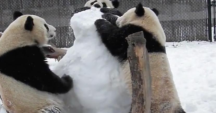 Pandas ceļ sniekavīru sirena... Autors: ere222 zxzxhzc Pandas