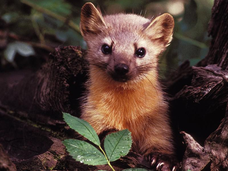 Caunas medī vāveres peles... Autors: Fosilija Caunas.