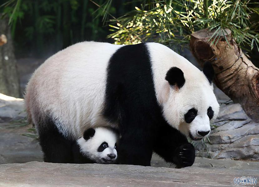 Pandu mātītēm savvaļā... Autors: vienanominkam Lielās pandas.