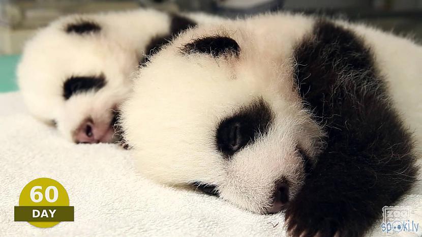 Pandas dienas sarakstā ir... Autors: vienanominkam Lielās pandas.