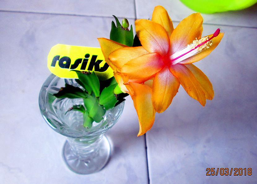 Autors: rasiks FS kaktusa zieds
