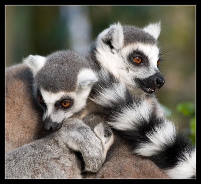 Lemuri Madagaskarā ieradās... Autors: ere222 zxzxhzc Lemuri