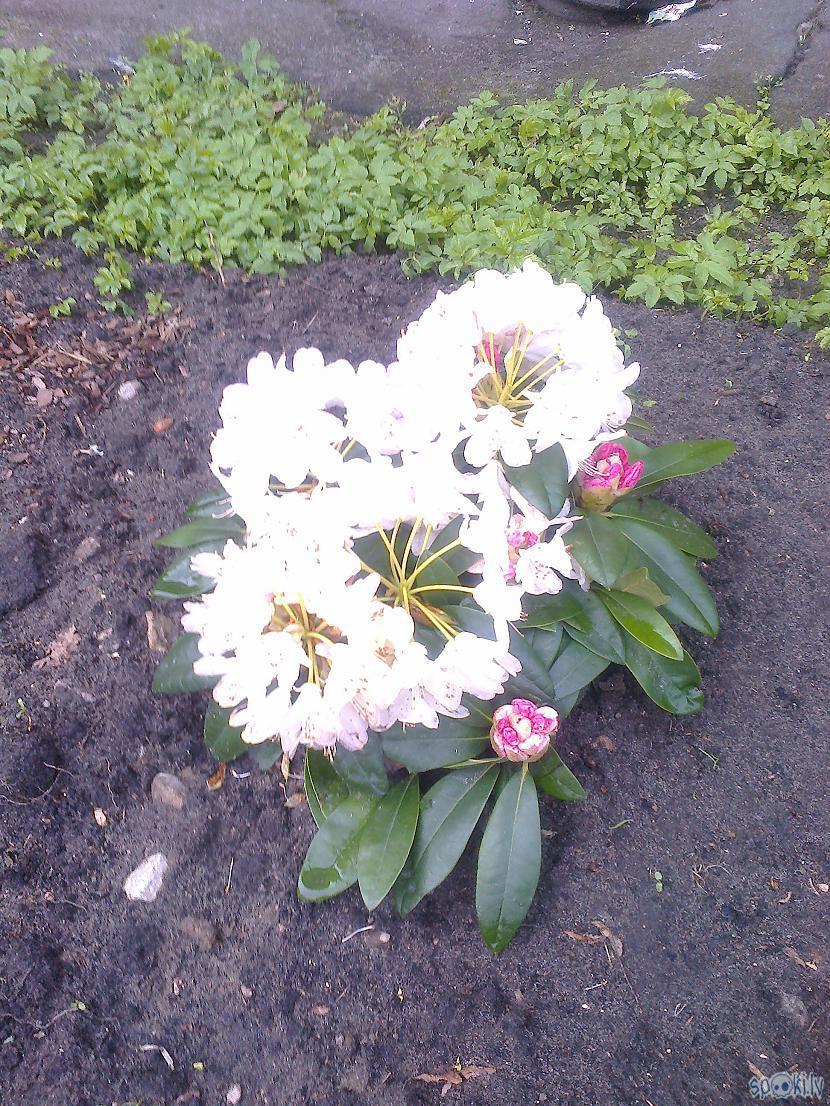 Kad rododendri zied kā trakiUn... Autors: ezkins Noskaņu variācijas