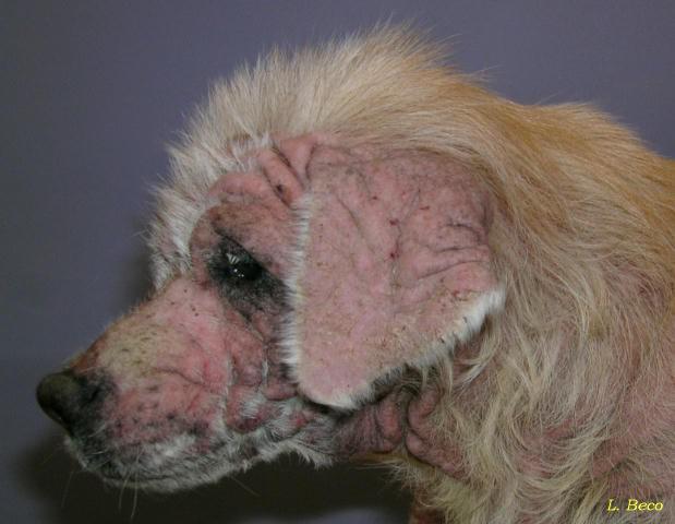 Sarkoptiskais kašķis Šī... Autors: Everbergerdīne 9 slimības, kas nopietni skar dzīvnieku sugas.