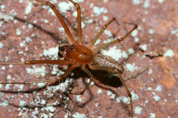 Scaroniem zirnekļiem uz... Autors: Kapteinis Cerība Interesanti fakti par Pundurzirnekli