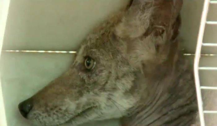 Sieviete izstāstīja ka... Autors: nikrider Cilvēki izglāba ļoti slimu suni, bet beigās saprata, ka tas vispār nav suns
