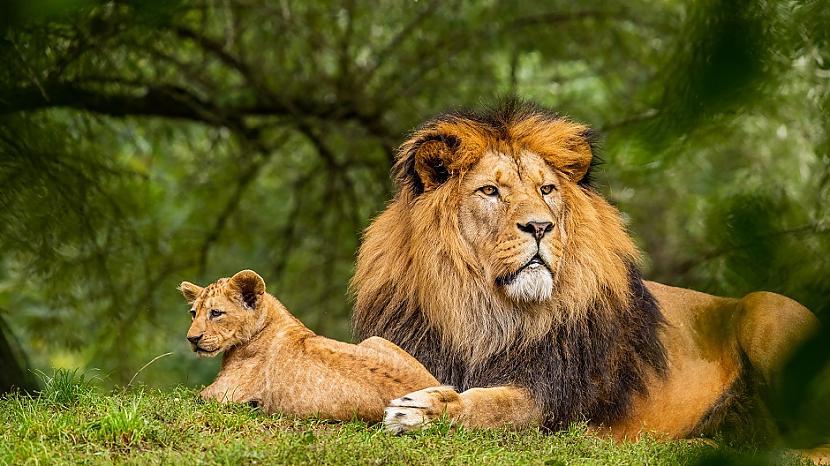 LauvaLauva vienmēr dominē un... Autors: Lestets Izvēlies simbolu un tas atklās, ko tev tagad vajag