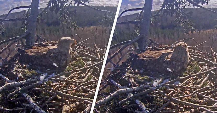 Par ligzdā notiekoscarono ziņo... Autors: matilde Drāmai Latvijas ērgļu ligzdā seko līdzi ne tikai Latvijā, bet arī ārzemēs