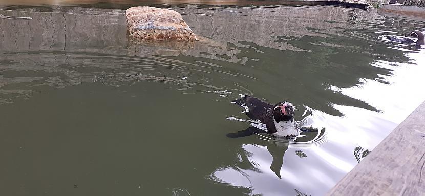 Scaronis pingvīns bija otrā... Autors: Griffith Bourton-on-the-water 1/2